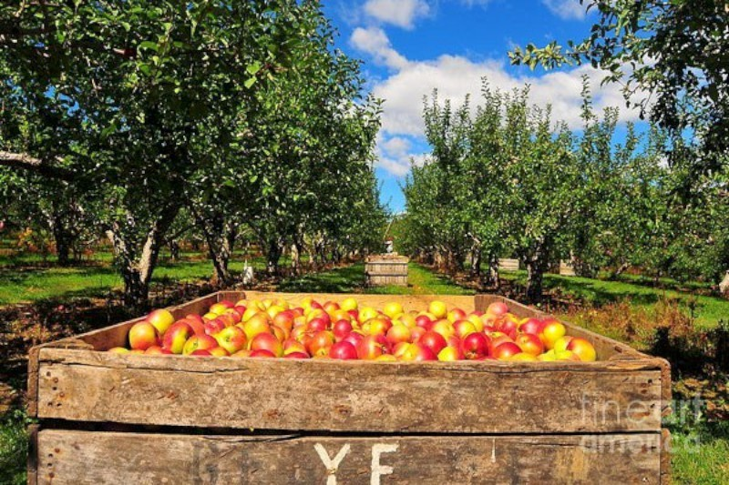 Out & About - Apple Harvest