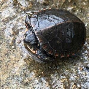 Arykat Otter Lake - Brake for Turtles